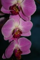 Orchid 2 by Golden-Plated