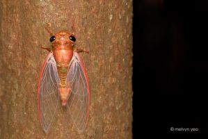Freshly molted cicada by melvynyeo