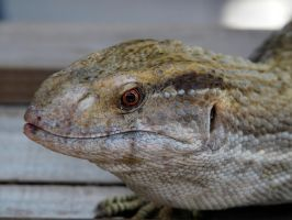Gatorland lizard by jelbo