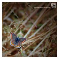 Aricia Agestis by Garelito-Photos