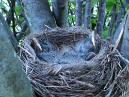 Baby Robins 3 by PridesCrossing
