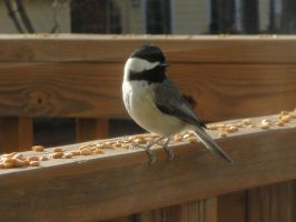 Black Capped Chickadee by watercolos