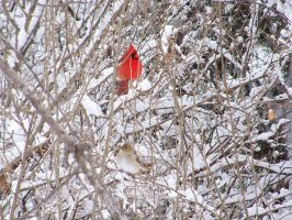 Cardinal In Snow Stock 1 by ravenarcana