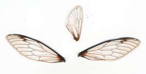 3 Cicada Wings by serp-stock