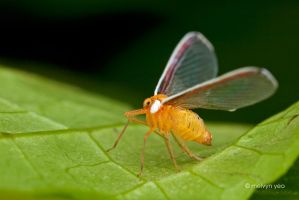 Derbid Planthoppers by melvynyeo