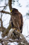 Crested Serpent Eagle by do7slash