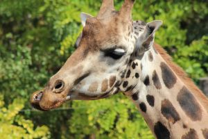 Love the face this giraffe is making :P by RbeccaTheWanderer