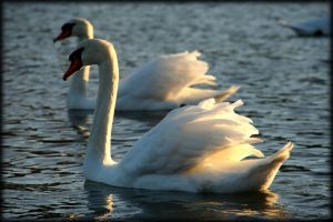 cygnes blancs by pwlldu