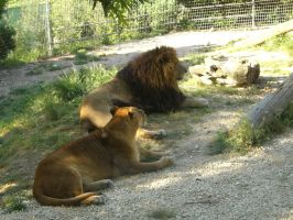 Lions-Stock by Emo-Kiddo-Stock