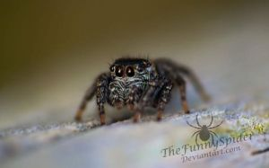 Cute little Jumping Spider found in Forest by TheFunnySpider