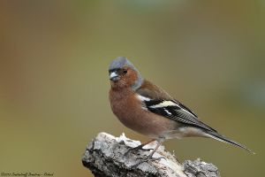 Fringilla coelebs by RichardConstantinoff