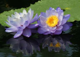 Purple Water Lilies by desmo100