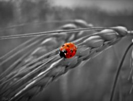 Coccinelle by Uran11