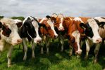 Cows love Cameras 1 by A-Clarke-Photography