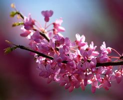 Redbud Blossoms by alimuse