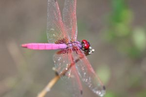 Dragon Fly - Red by Praveenfca