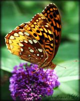 Great Spangled Fritillary by sunflowervlg