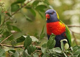 Lorikeet Having A Feed by Firey-Sunset