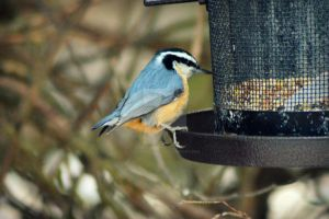 Red Breasted Nuthatch 3 by donnatello129