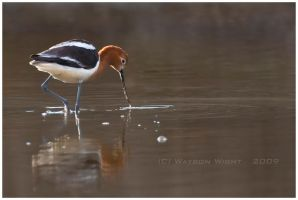 The American Avocet by tourofnature