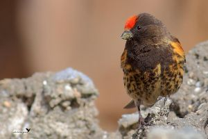 Red-fronted serin by ardanuc