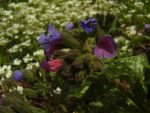 Lungwort Flowers by Pentacle5