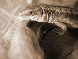 favourite photo of a favourite lizard by Bledhgarm