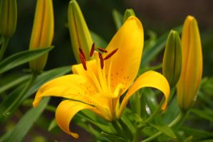 yellow lily by krystledawn