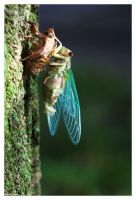 Hatching Cicada by ewm