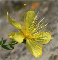 Yellow flower by SweeneyTed