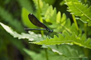 Damselfly by Corvidae65