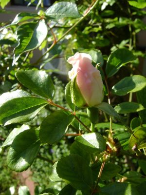 rose bud by manhattan-moment
