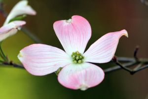 Dogwood 1 by CASPER1830