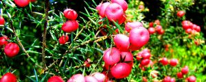 Pink Mountain Berries 3033p by SyntheticIdea