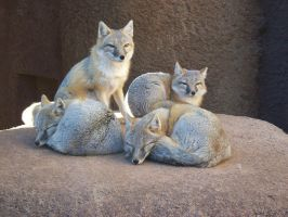 OKC Zoo Trip - Swift Foxes by austringer