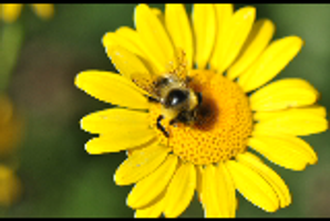 Bee and Flower by Jared-Photos-Others