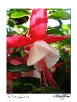 White Fuchsia by DistantVisions