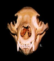 Black bear skull front by WarpSkellian