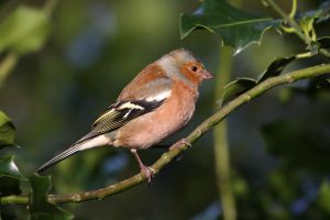 Male Chaffinch by cycoze
