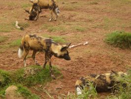 African Painted dogs I by Twister4evaSTOCK