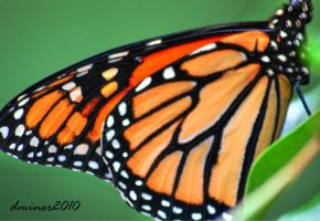 Monarch Butterfly 02 by daniellepowell82