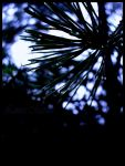 Pine droplets by Caelitha