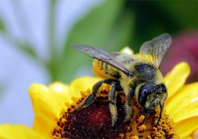 Honey Bee Details by andras120