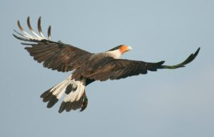Crested Cara Cara in Flight by Kippenwolf