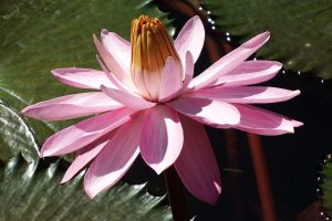 Waterlily 1 - Maui by wildplaces