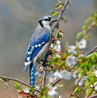 Blue Jay by millerjoew2008