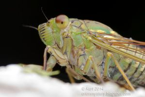 Cicada (IMG 4762 copy) by orionmystery