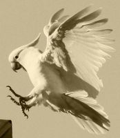 Cockatoo Sepia by aussiegal7