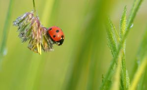- Dewy Ladybug - by UNexperienced