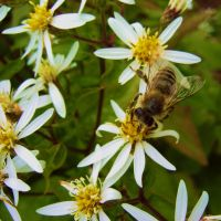honey bee at work by Paul774